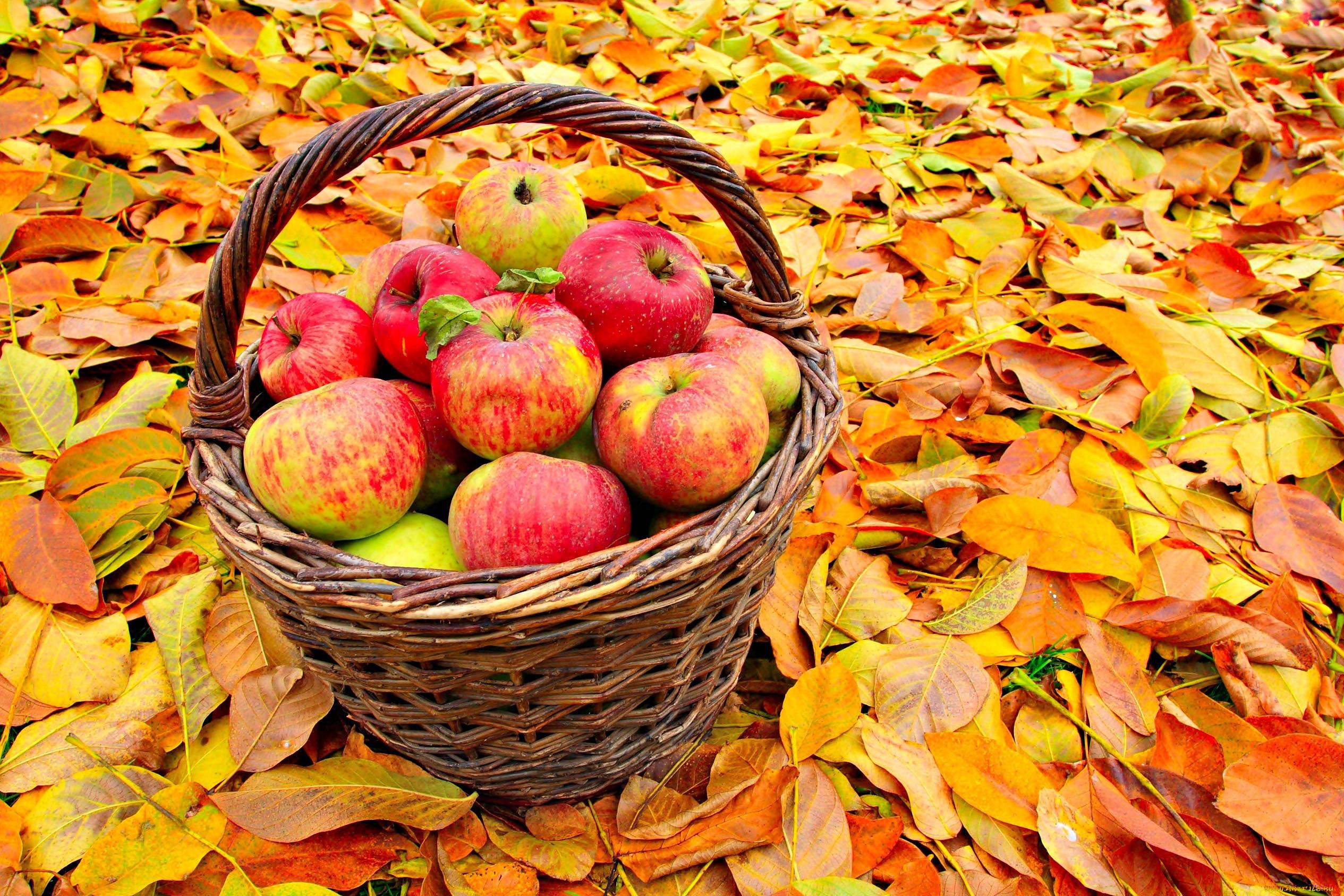 яблоки в корзине осень фото вновь прибывающих